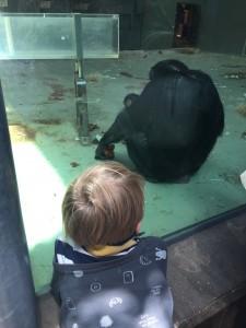 Children love watching the furry chimpanzees.